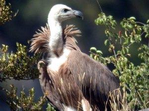 avvoltoio-indiano