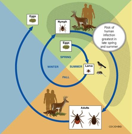 Ciclo delle zecche dei boschi (Immagine tratta da http://www.cdc.gov/)